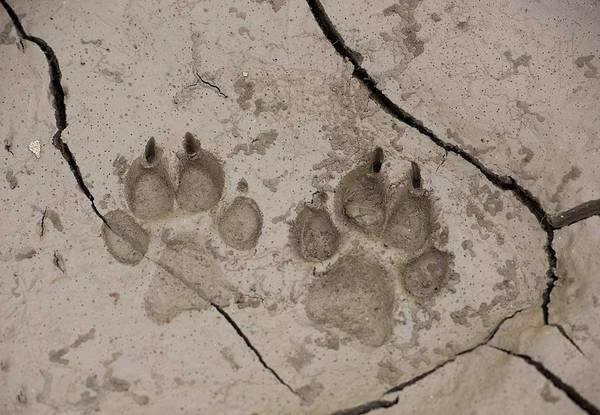 Wall Art - Photograph - African Hunting Dog Paw Prints by Tony Camacho/science Photo Library