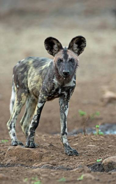 Critically Endangered Wall Art - Photograph - African Hunting Dog Pup by Tony Camacho