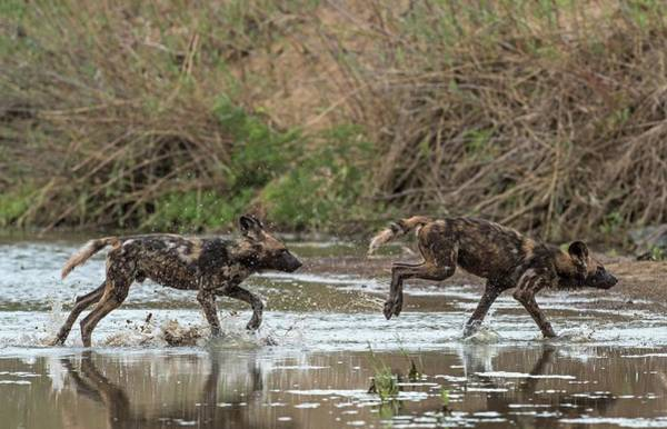 Critically Endangered Photograph - African Hunting Dog Pups At Play by Tony Camacho