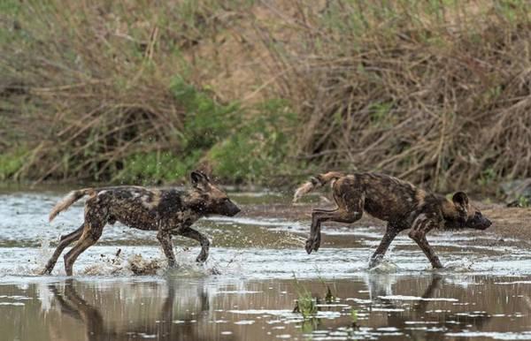 Critically Endangered Wall Art - Photograph - African Hunting Dog Pups At Play by Tony Camacho