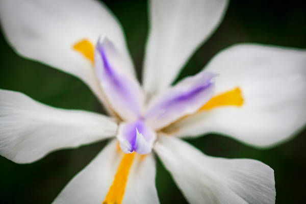 Morea Wall Art - Photograph - African Iris Morea Dietes by Rich Franco