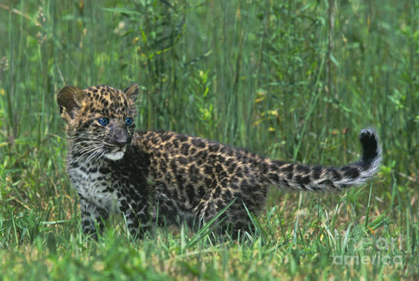 Photograph - African Leopard Cub In Tall Grass Endangered Species by Dave Welling
