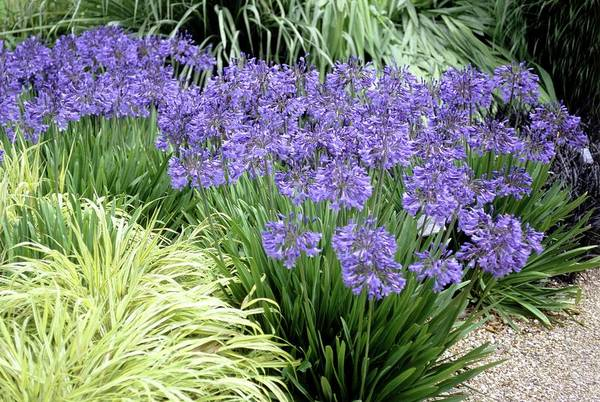 Agapanthus Photograph - African Lilies (agapanthus 'blue Bird') by Mike Comb/science Photo Library