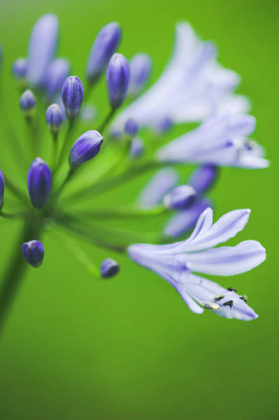 Agapanthus Photograph - African Lily (agapanthus Africanus) by Gustoimages/science Photo Library