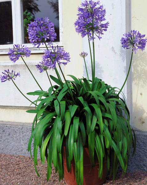 Agapanthus Photograph - African Lily by The Picture Store/science Photo Library
