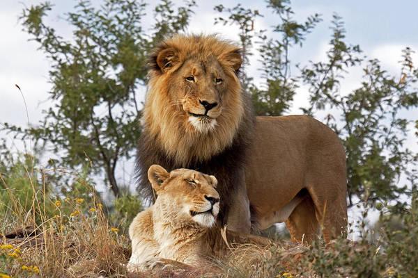 Felidae Wall Art - Photograph - African Lion And Lioness Botswana by Erik Joosten