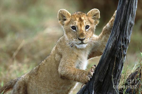 Photograph - African Lion Cub Climbing Masai Mara by Yva Momatiuk  John Eastcott