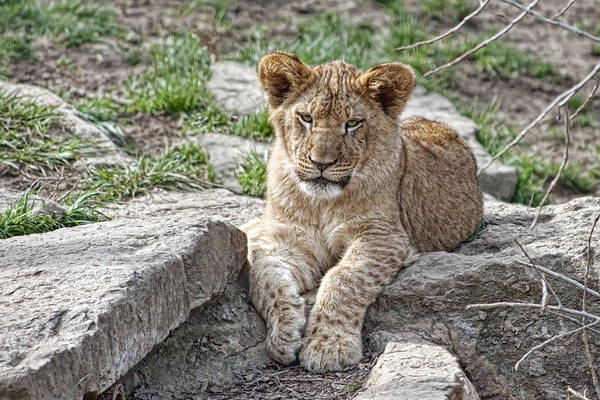 Big Cat Wall Art - Photograph - African Lion Cub by Tom Mc Nemar