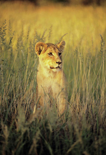 Wall Art - Photograph - African Lion Cub by Tony Camacho/science Photo Library