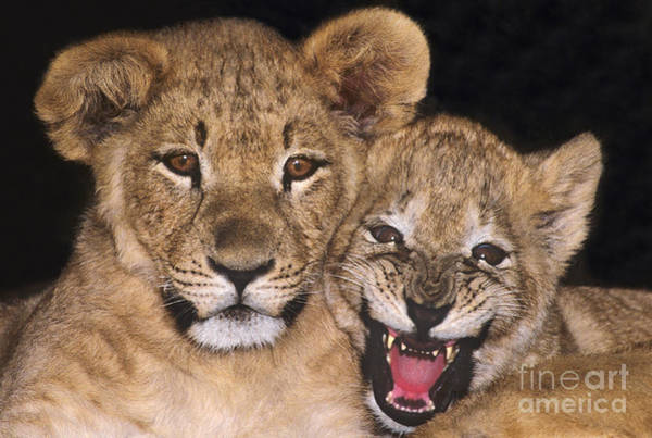 Photograph - African Lion Cubs One Aint Happy Wldlife Rescue by Dave Welling