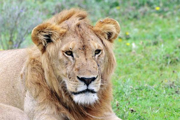 Big Five Photograph - African Lion by Dr P. Marazzi/science Photo Library