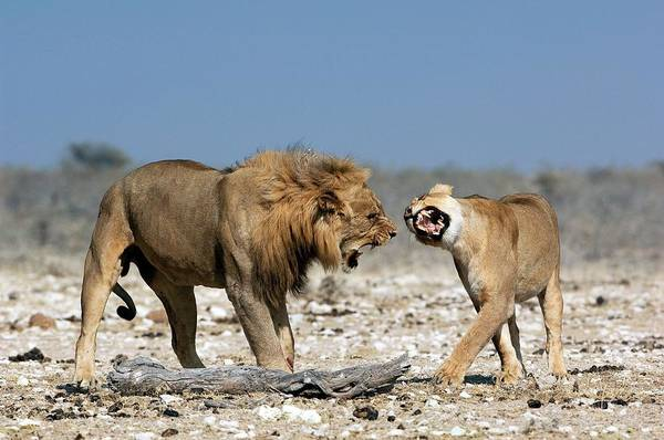 Mating Ritual Photograph - African Lion Mating Ritual by Tony Camacho/science Photo Library