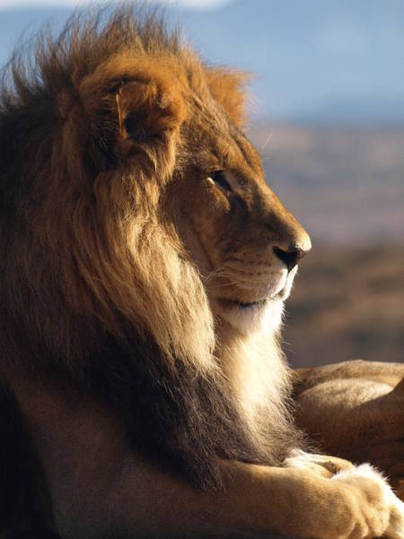 Photograph - African Lion by James Peterson