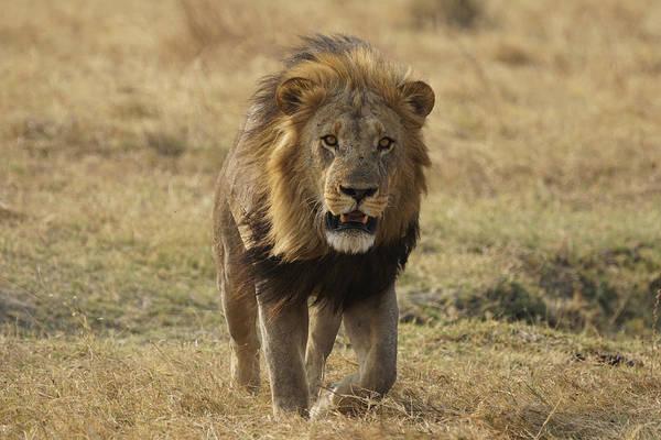 Felidae Wall Art - Photograph - African Lion On Savanna Masai Mara Kenya by Hiroya Minakuchi