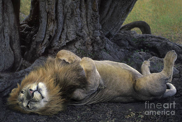 Photograph - African Lion Panthera Leo Wild Kenya by Dave Welling
