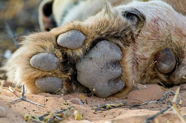 Big 5 Photograph - African Lion Paw by Tony Camacho/science Photo Library