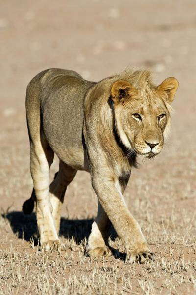 Big 5 Photograph - African Lioness by Tony Camacho/science Photo Library