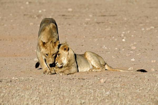 Big Five Photograph - African Lionesses by Tony Camacho/science Photo Library