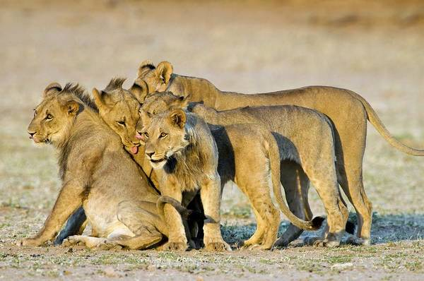 Big 5 Photograph - African Lions by Tony Camacho/science Photo Library