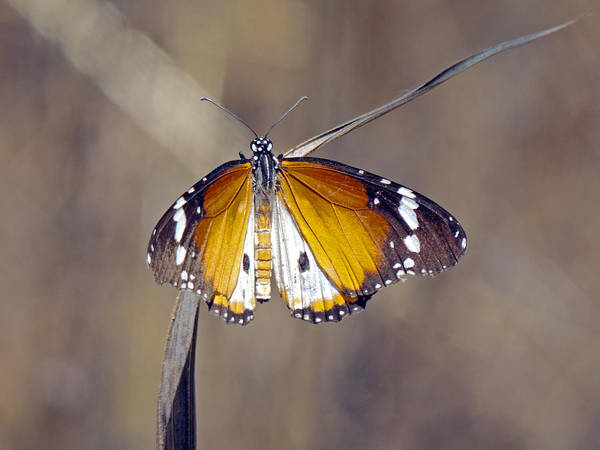 Photograph - African Monarch Butterfly by Tony Murtagh