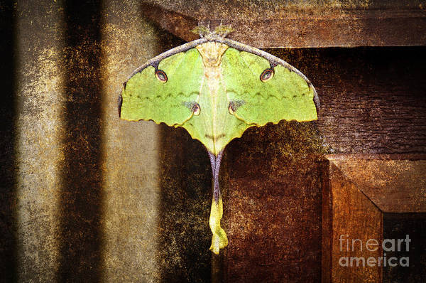 Photograph - African Moon Moth 2 by Andee Design