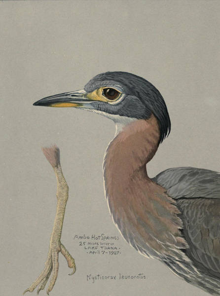 Night Life Painting - African Night Heron  by Dreyer Wildlife Print Collections