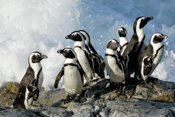 Wall Art - Photograph - African Penguins On Rocks by Peter Chadwick/science Photo Library