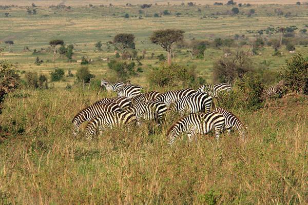 Photograph - African Plains Zebra by Aidan Moran