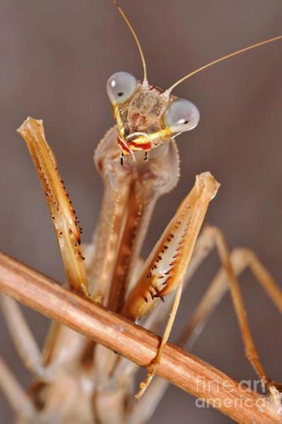 Photograph - African Praying Mantis by Francesco Tomasinelli