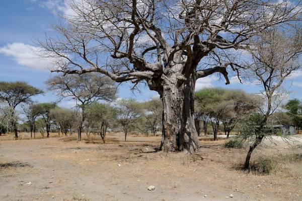 Katherine Green Wall Art - Photograph - African Series 3000 Year Old Tree by Katherine Green