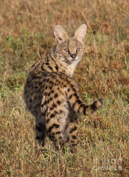 Photograph - African Serval Cat 1 by Chris Scroggins