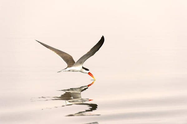 Skimmers Photograph - African Skimmer Foraging Chobe Np by Andrew Schoeman