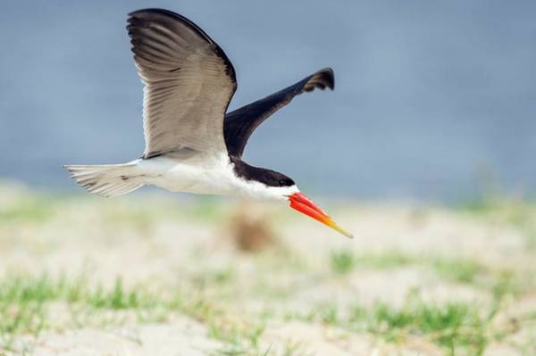 Skimmers Photograph - African Skimmer In Flight by Peter Chadwick