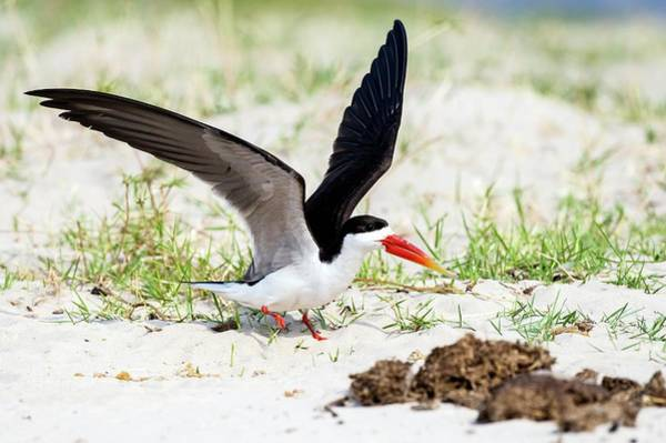 Skimmers Photograph - African Skimmer Raises Its Wings by Peter Chadwick