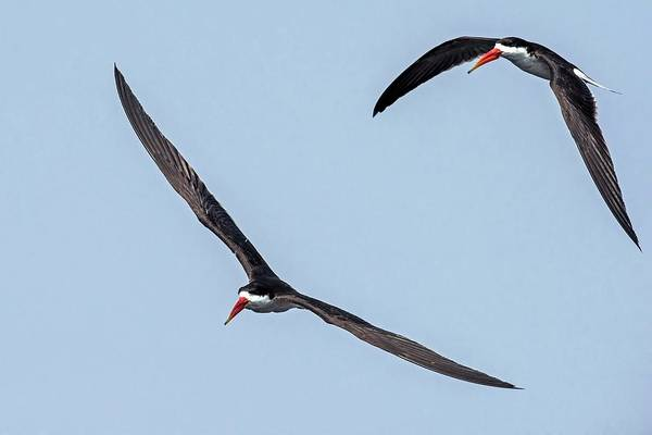 Skimmers Photograph - African Skimmers In Flight by Tony Camacho/science Photo Library