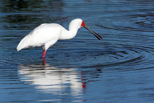 Okavango Delta Photograph - African Spoonbill by Steve Allen/science Photo Library