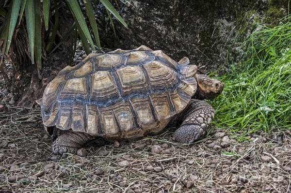 Photograph - African Spurred Tortoise by Arterra Picture Library