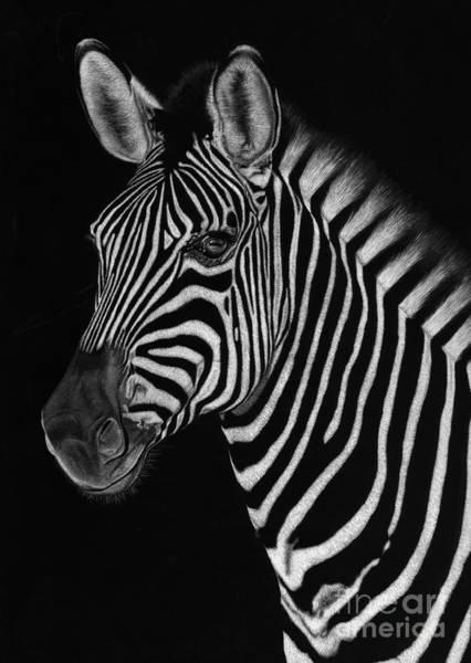 Scratchboard Drawing - African Stallion by Sheryl Unwin