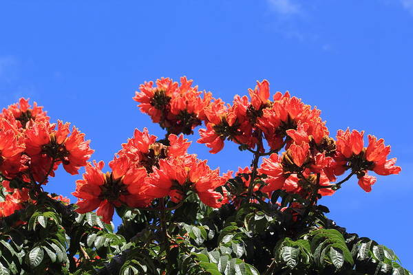 Photograph - African Tulip Tree by Shane Bechler