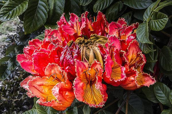 African Tulip Tree Flowers Art Print