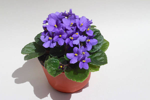 Wall Art - Photograph - African Violet by Jeanne White