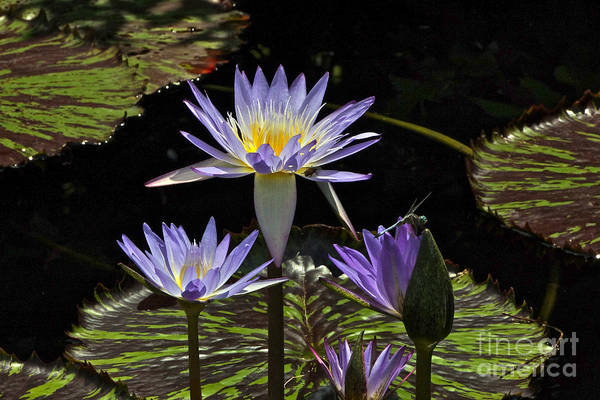 Photograph - African Waterlily Dazzle -- Plus Dragonfly by Byron Varvarigos