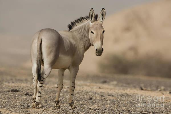 Equus Africanus Photograph - African Wild Ass Equus Africanus by Eyal Bartov