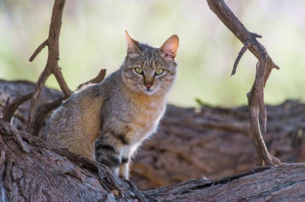 Felis Silvestris Photograph - African Wild Cat Resting In A Large Tree by Peter Chadwick/science Photo Library