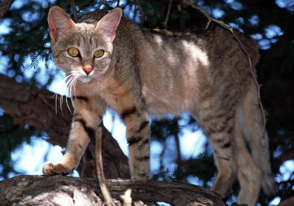 Felis Silvestris Photograph - African Wild Cat by Tony Camacho/science Photo Library