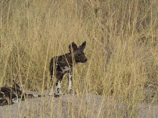 Okavango Delta Photograph - African Wild Dog Lycaon Pictus Puppy by Panoramic Images