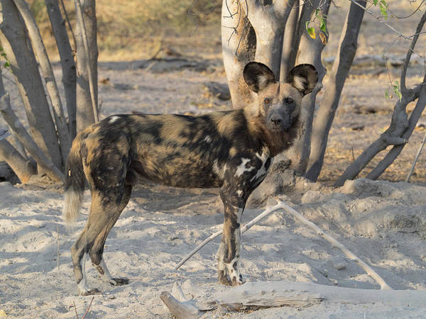 Okavango Delta Photograph - African Wild Dog Lycaon Pictus Standing by Panoramic Images