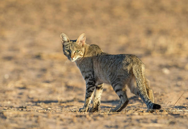 Felis Silvestris Photograph - African Wildcat At Dawn by Tony Camacho/science Photo Library