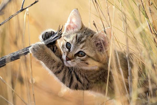 Felis Silvestris Photograph - African Wildcat Kitten by Tony Camacho/science Photo Library