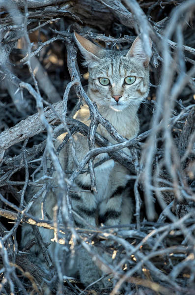 Felis Silvestris Photograph - African Wildcat Taking Refuge by Tony Camacho/science Photo Library